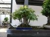 crespi-bonsai-cup-11