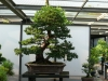 crespi-bonsai-cup-18
