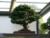 crespi-bonsai-cup-2