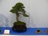 Pin sylvestre, Pinus sylvestris
