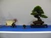 Pin rouge de Mario Komsta (Pinus densiflora) ayant été exposé à la Kokufu au Japon