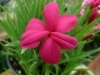 Rhodohypoxis Donald Man