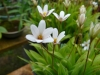 rhodohypoxis_hebron_farm_biscuit