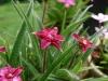 rhodohypoxis_kiwi_joy_fleur