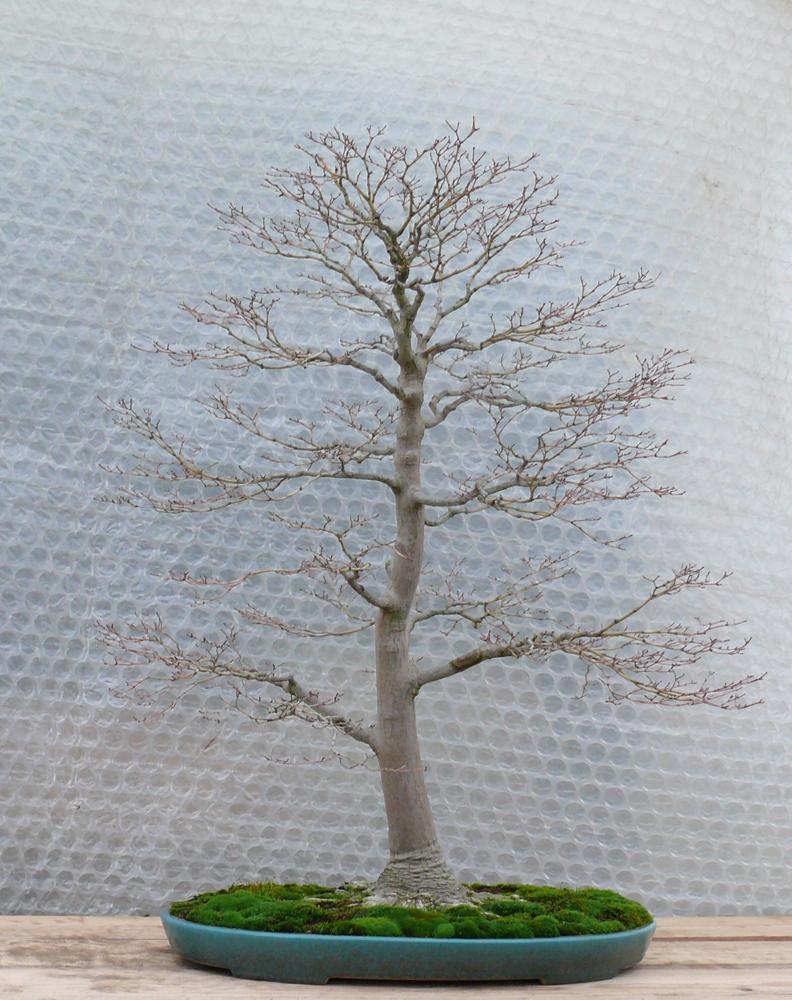 Arbre japonais dessin galerie tatouage - Bonsai arbre prix ...