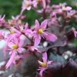 Saxifraga cortusifolia, fleur d'automne