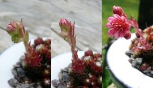 floraison de joubarbe