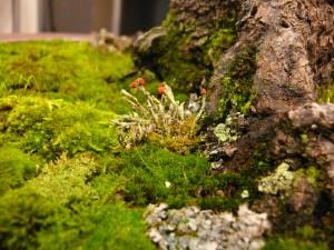 mousse et lichen au pied d'un bonsai