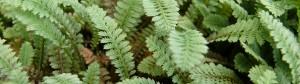 Leptinella kusamono