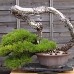 Bonsai de Shiino Kentaro