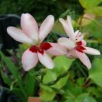 fleurs d'anomatheca