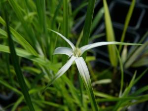 Feuillage et fleur du Dichromena colorata