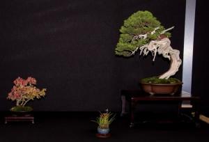 Juniperus_Crivelli
