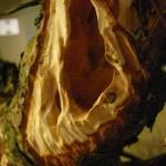 tronc creux par Kevin Wilson sur bonsai de Larix
