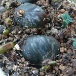 Pleione, déjà en train de pousser
