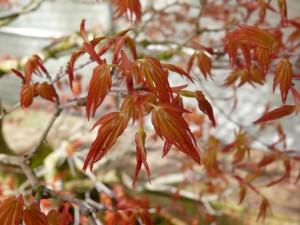 Acer palmatum pinching