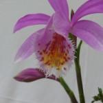 Pleione, les fleurs sont ouvertes