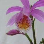 Pleione_kusamono_P1170104