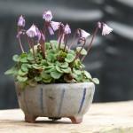 Soldanella en fleurs à identifier