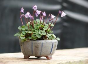 soldanella en pot japonais