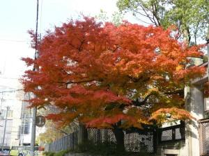 érables japonais à Kyoto