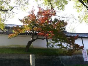 Erable_japonais_0855