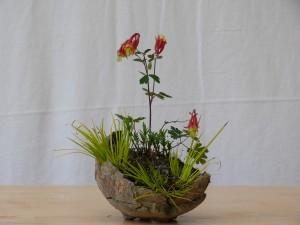 Ancolie dans un pot de Horst Heinzlreiter