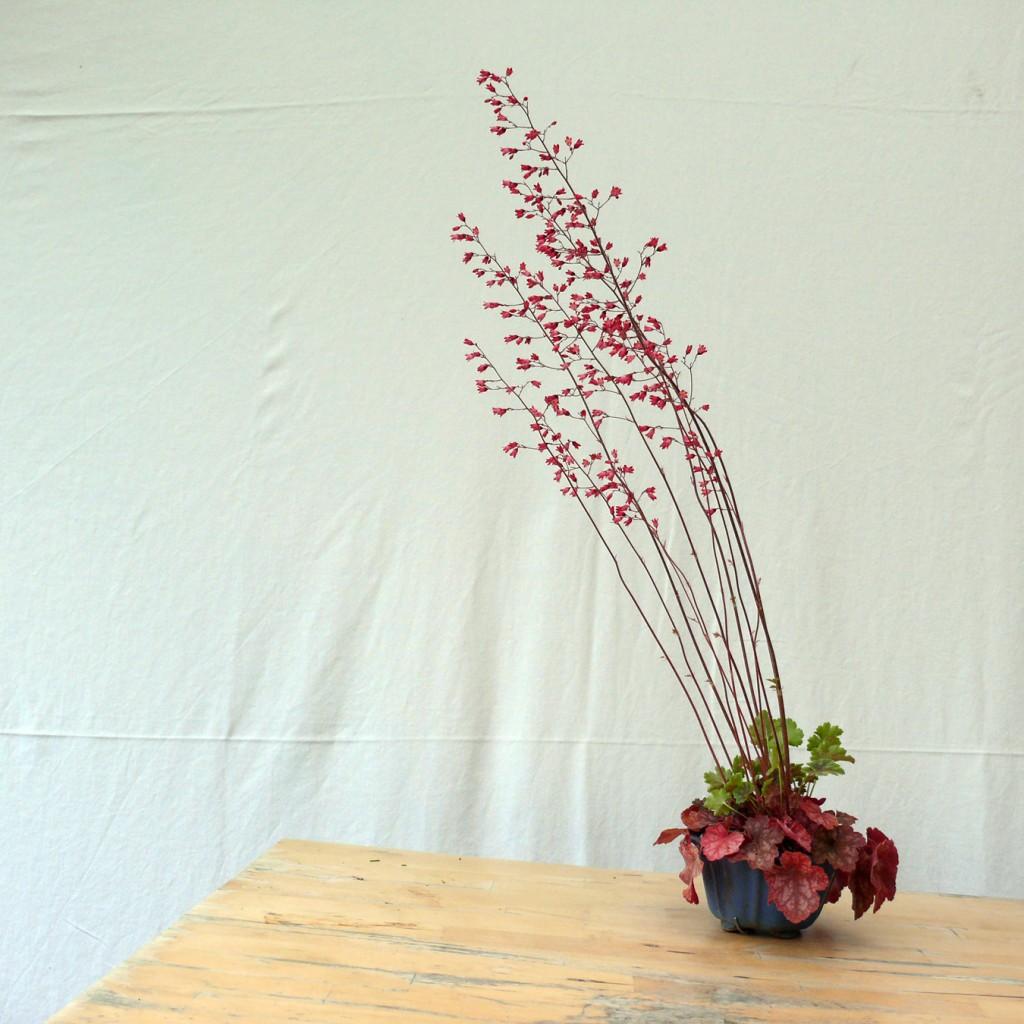 heuchere en fleur vers la gauche
