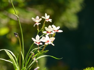 Anomatheca laxa en fleurs en juin 2014
