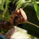 cosses de graines d'Anomatheca laxa