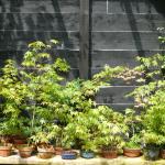 Combien de bonsaïs dans sa collection ?