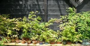 combien de bonsaï d'érable