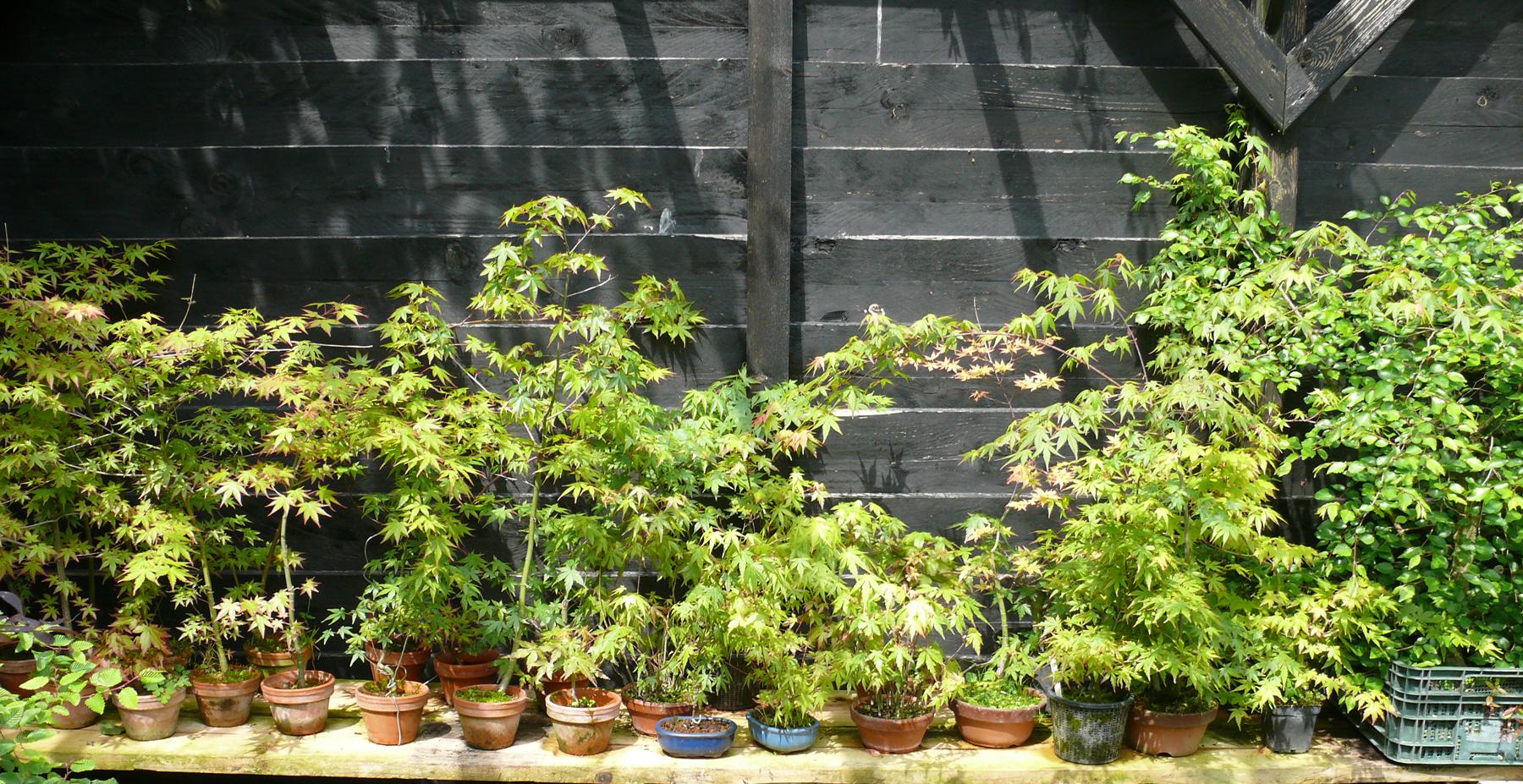 Combien de bonsa s dans sa collection petit arbre for Combien de sa
