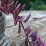 Couleurs d'automne des feuilles de Sedum sieboldii