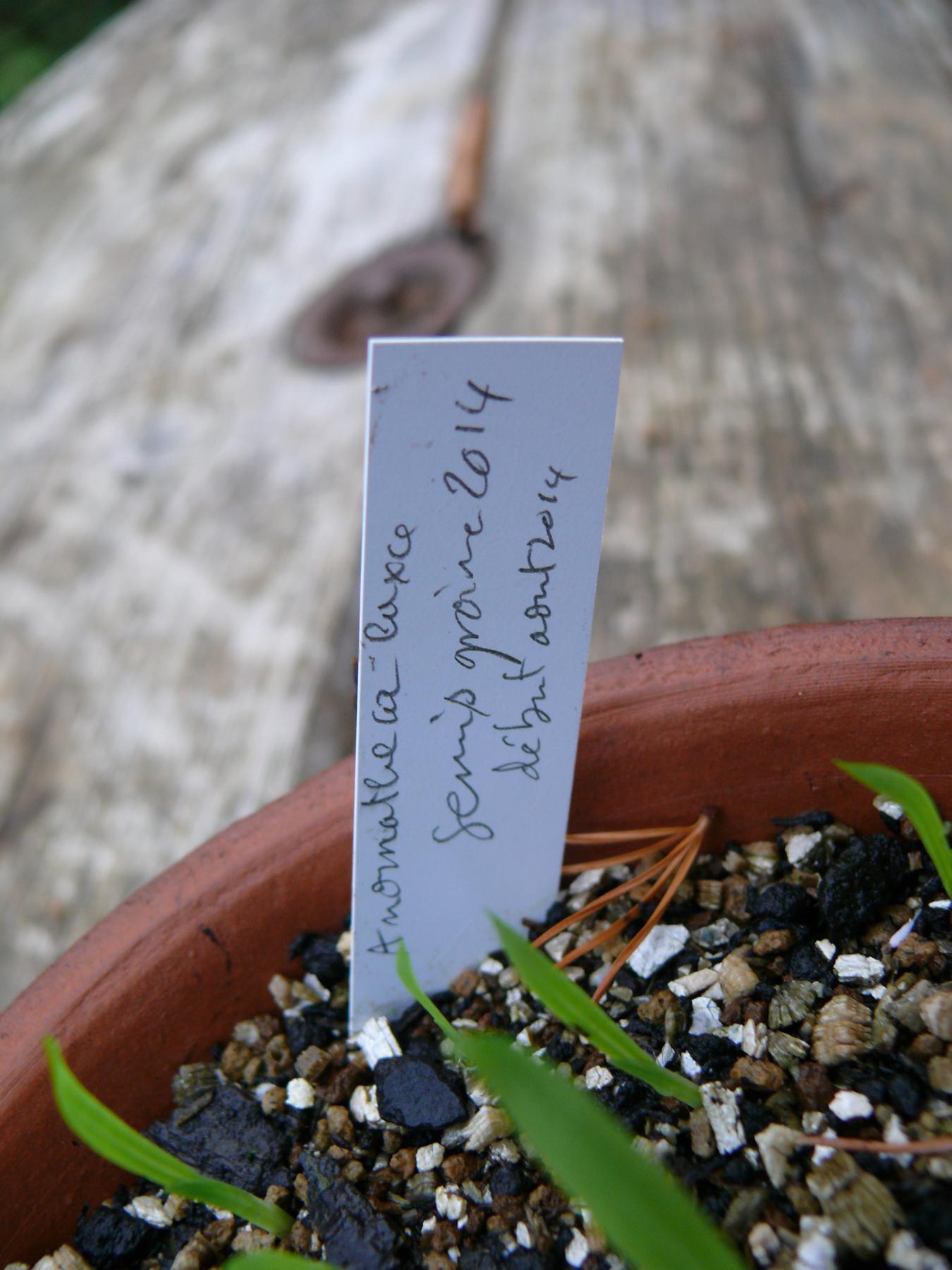 semis de faux freesia