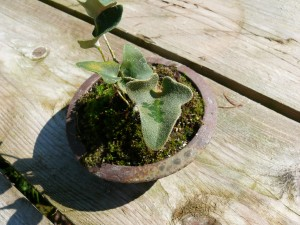 fougère japonaise pyrosia