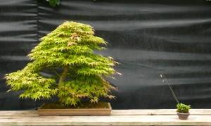 acer palmatum double tronc