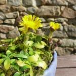 Tussilage, le kusamono à fleurs jaunes