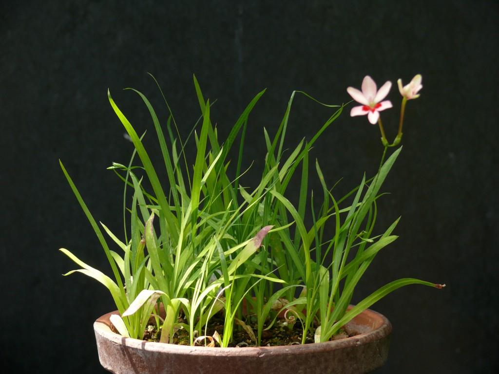 anomatheca 9 mois après le semis