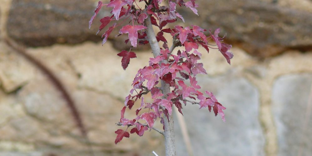 La taille d 39 automne des bonsa s en pratique - Arbre petite taille ...