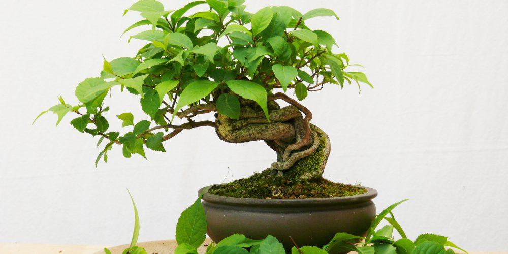 Célèbre Bienvenue dans le monde du bonsaï, des kusamono et du Japon CM16