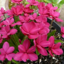 Rhodohypoxis Great Scott