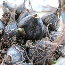 Pleione Britannia « Doreen » : bulbes à vendre