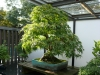 crespi-bonsai-cup-13