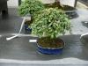 crespi-bonsai-cup-19