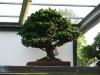 crespi-bonsai-cup-2