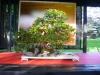 crespi-bonsai-cup-5