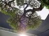 Ramification d\'un pin de Luis Vallejo