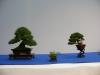 Composition pin blanc et genévrier