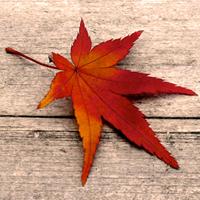 feuille d'érable japonais en couleurs d'automne
